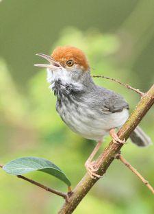 7_Cambodian-Tailorbird_01